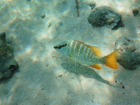 Linear fish-Cozumel