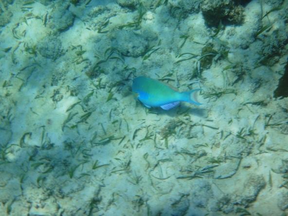 Rainbow Fish 2-Akumal