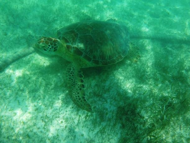 Turtle 8-Akumal