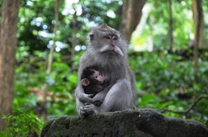 tour in bali monkeys 4