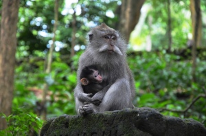 tour in bali monkeys 4